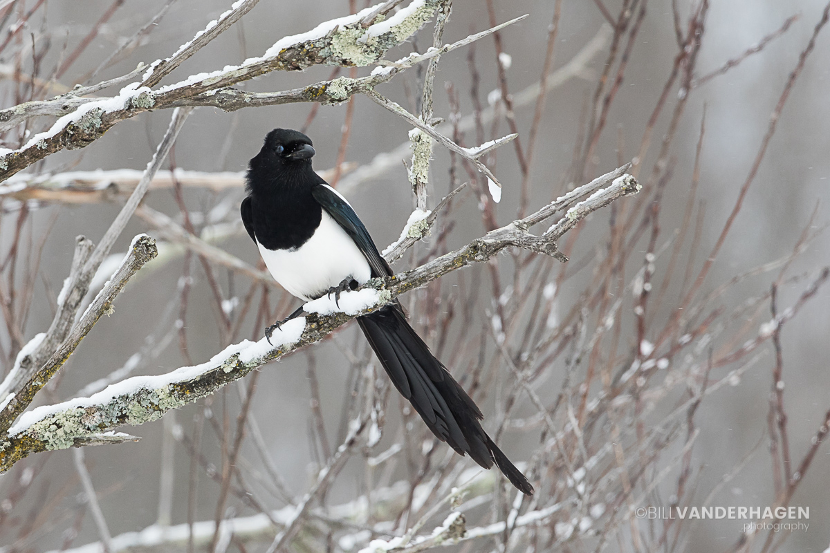Magpie Perched