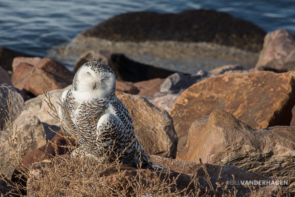 Snowy Owl Sleeping South Dakota