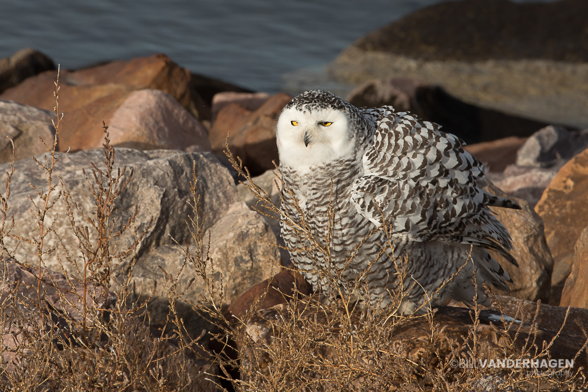 Snowy Owl Fluffed in South Dakota