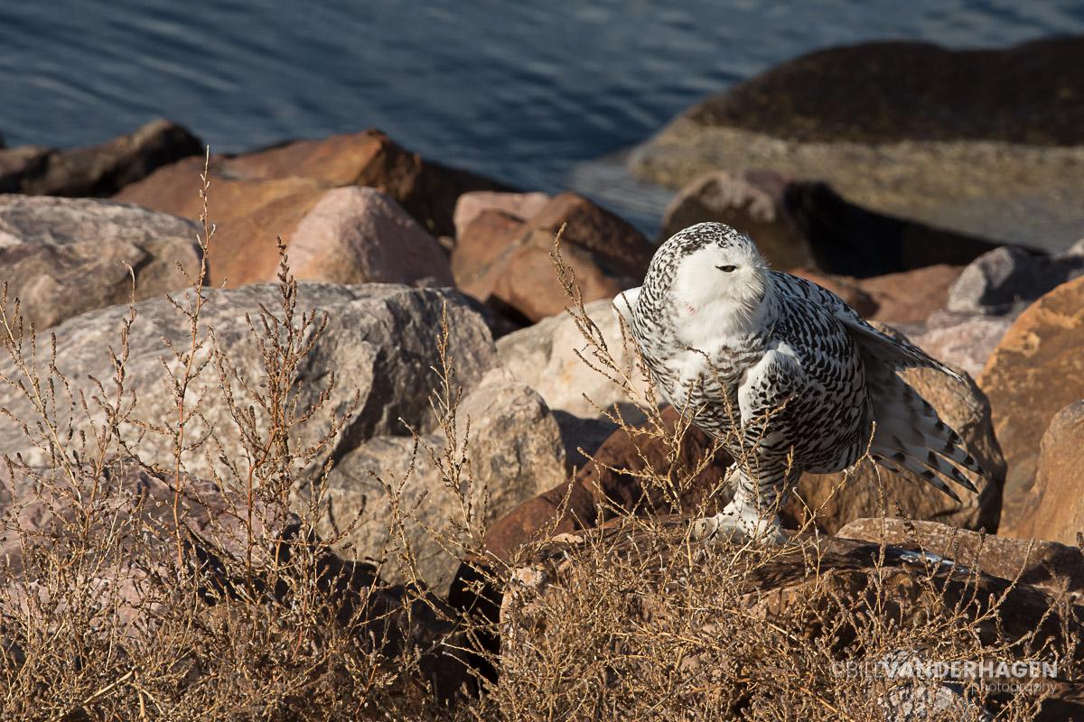 Snowy Owl Stretching Photo - South Dakota