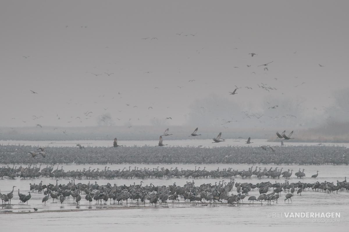 Platte river cranes