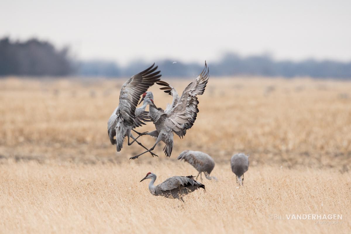 Sandhill Cranes battle