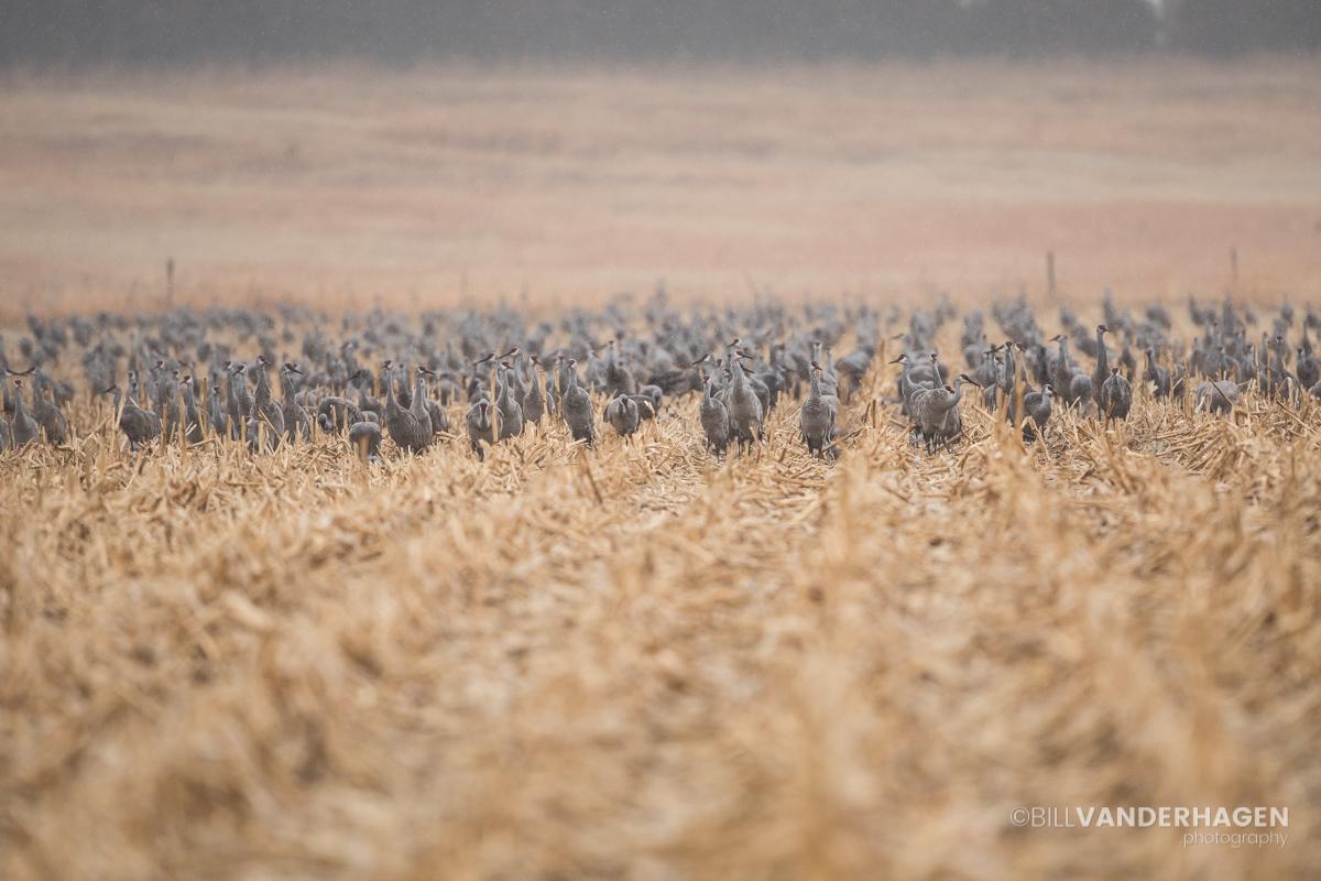 Sandhill Cranes in the cornfield