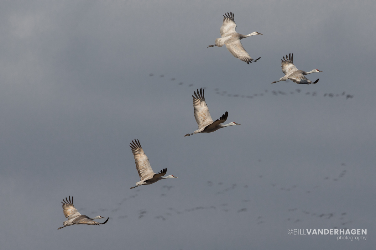Cranes returning to river