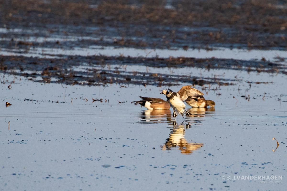 Long tailed duck south dakota