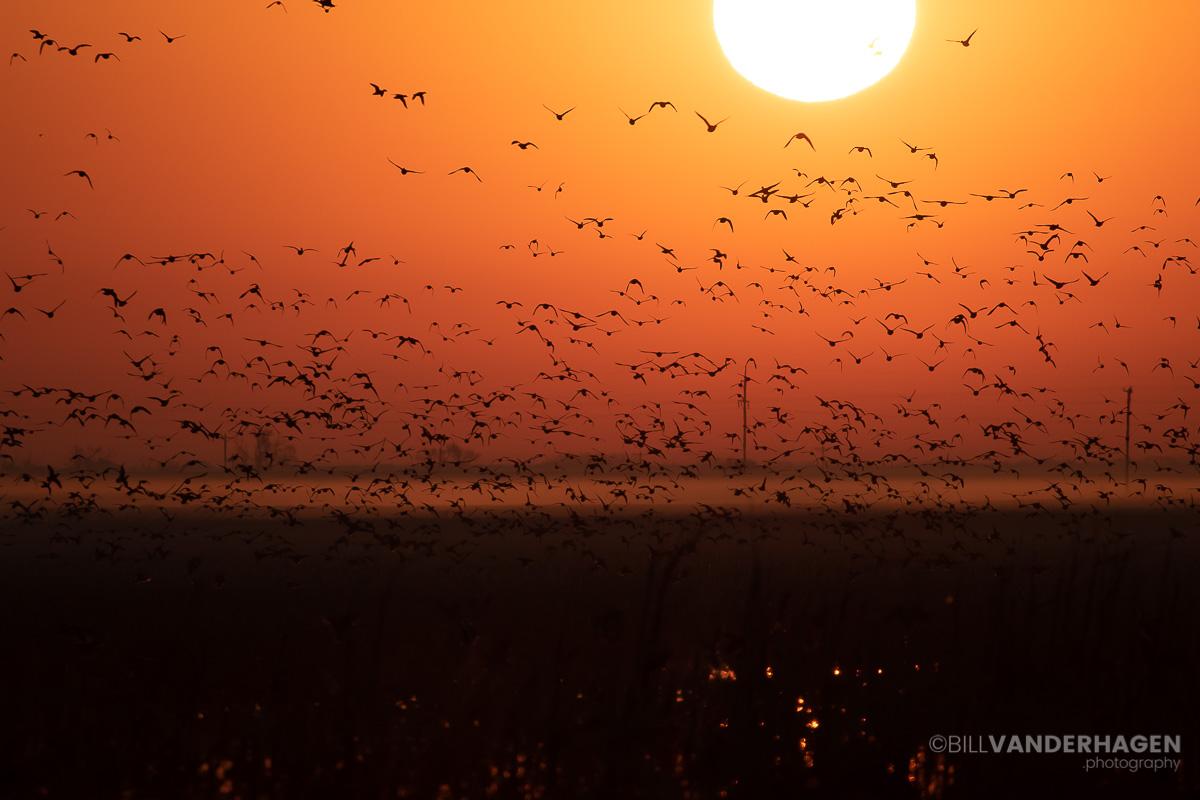 Sunrise waterfowl silohouttes