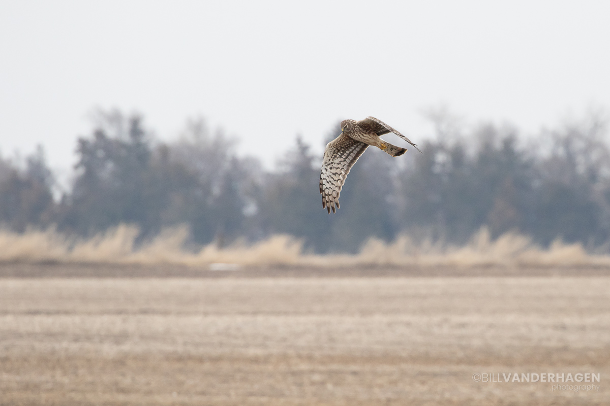 Northern Harrier photography