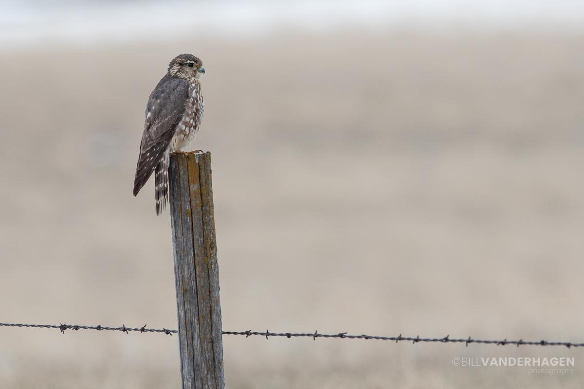 Merlin hunting photo