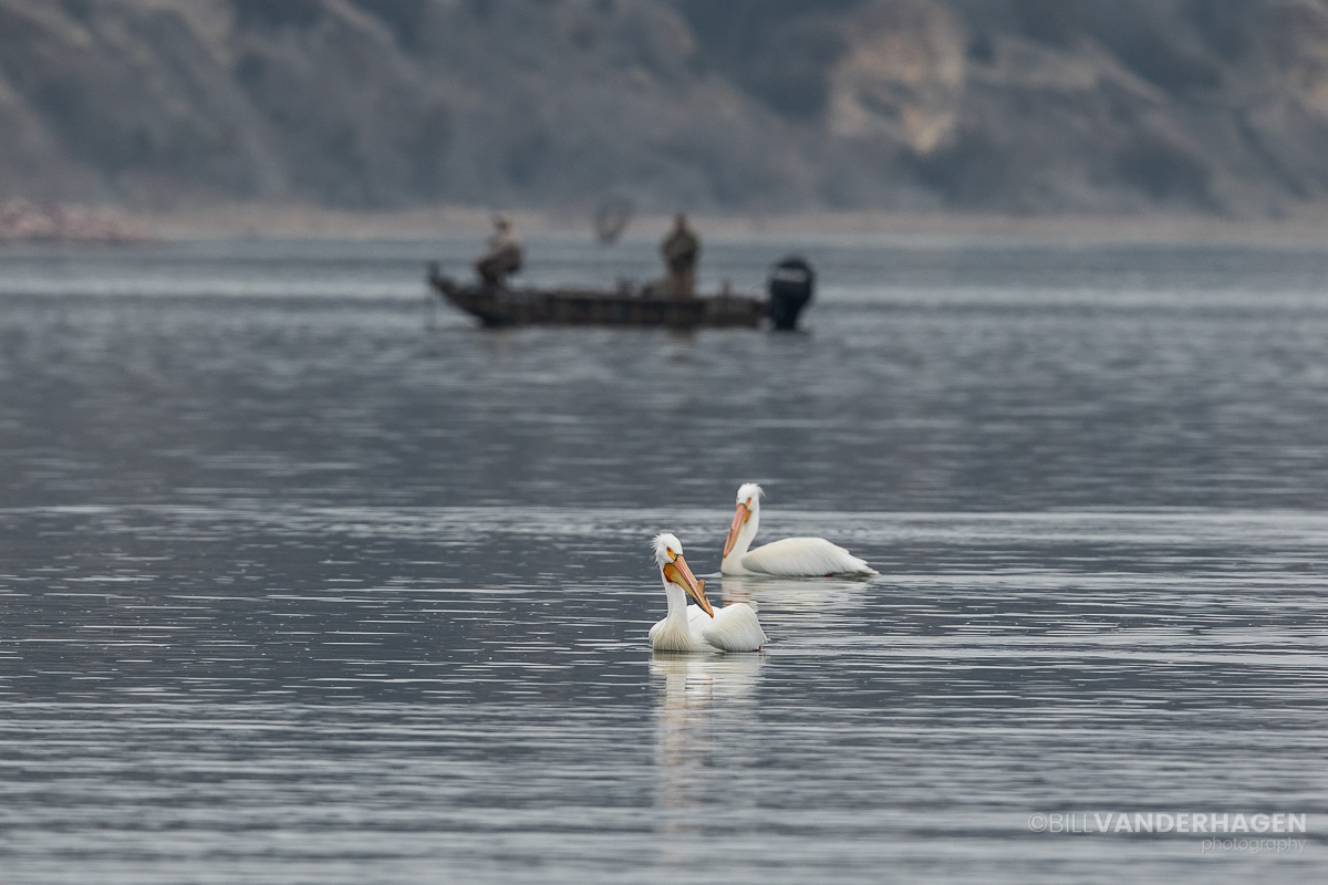 Pelicans and fisherman image