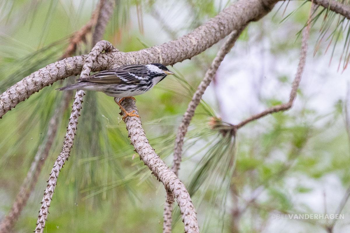 black poll warbler