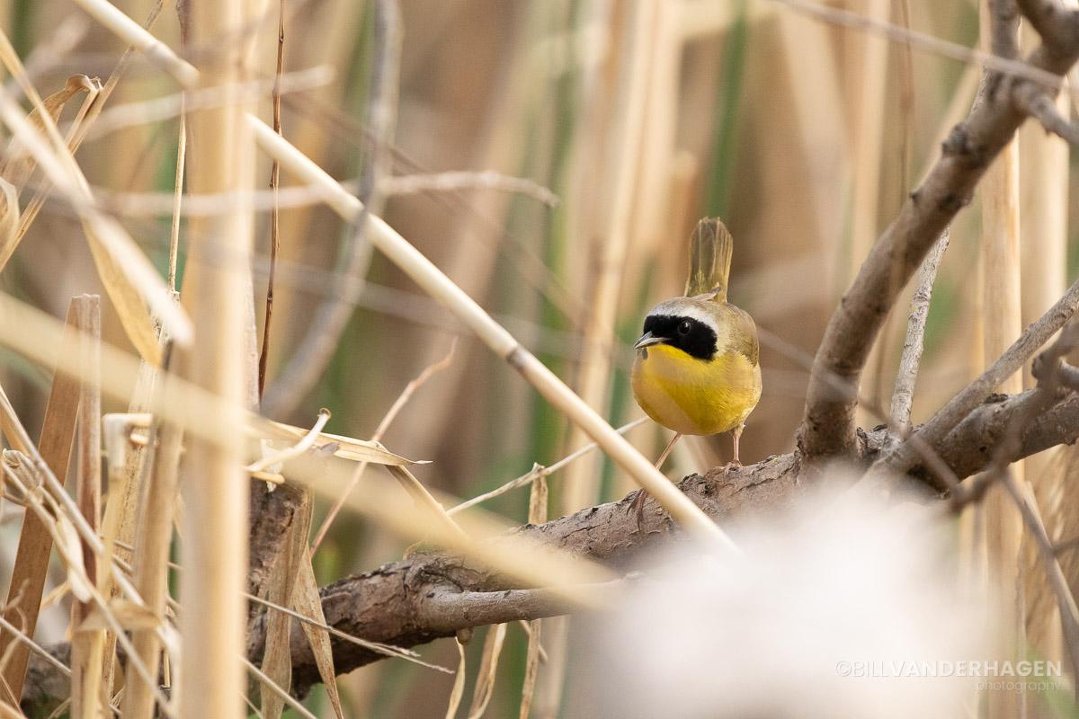 Common yellowthroat south dakota