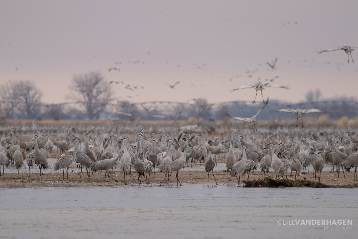 Sandhill crane roost