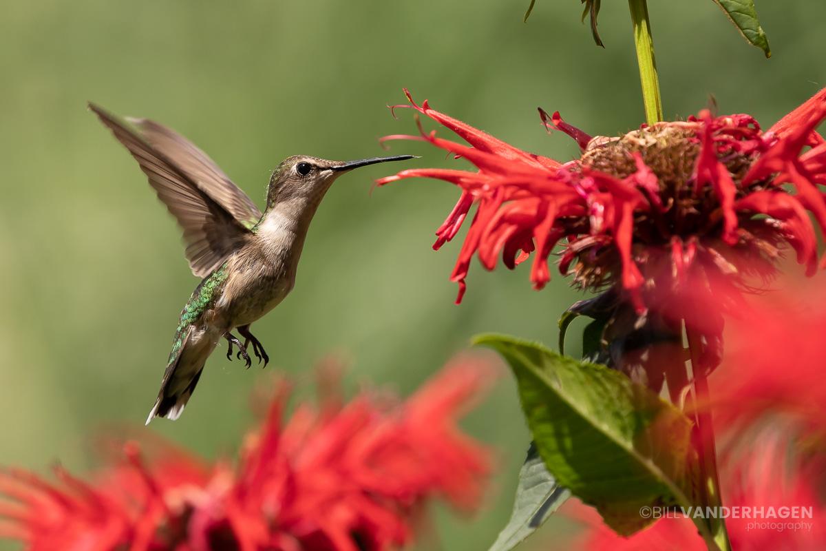 Female ruby throated hummingbird photo