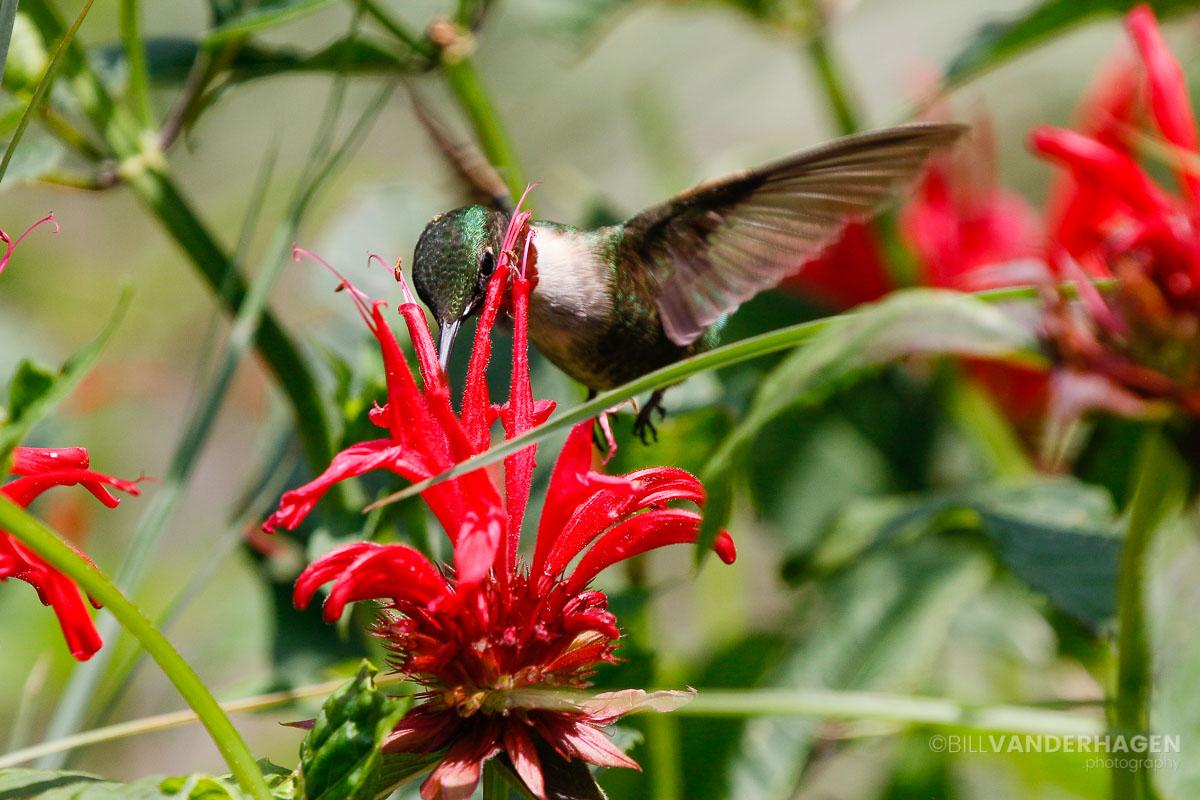 Male ruby throated hummingbird photo