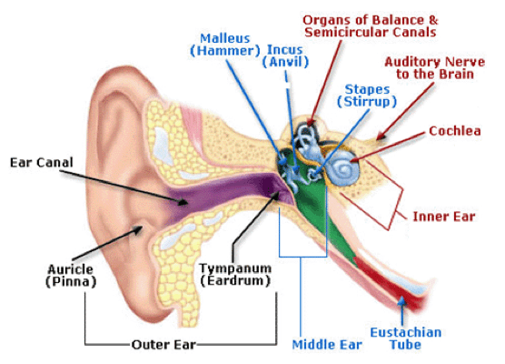 Diagram of the ear anatomy