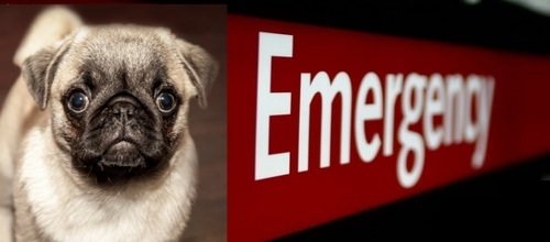 Emergency sign with pug dog