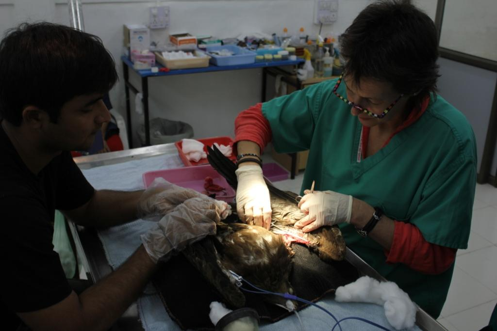 WVI vet Johanna Storm operates on a black kite with frontal wing injuries from cutting strings used to fly kites during the International Kite Festival, Ahmadabad. Copyright WVI