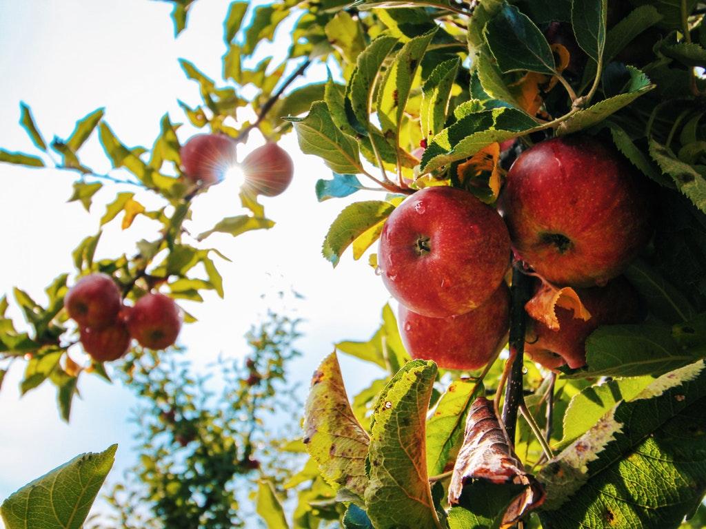apple trees in ohio