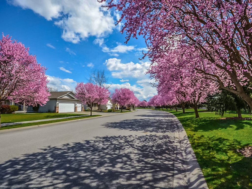 a park path lined with blossoming cherry trees