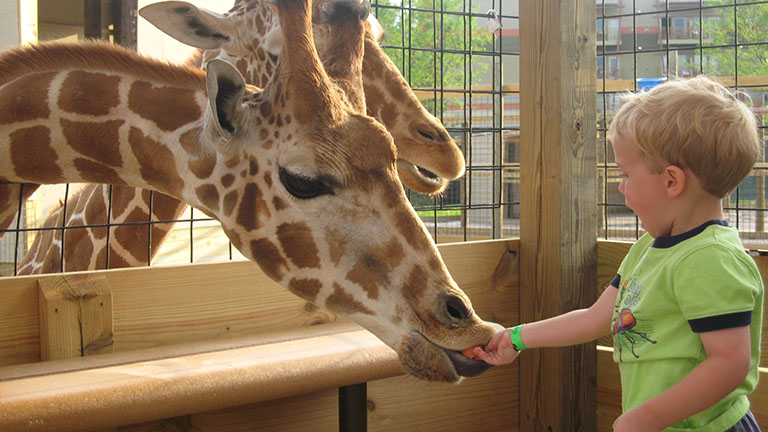 child feeding giraffes at Kalahari Safari Park