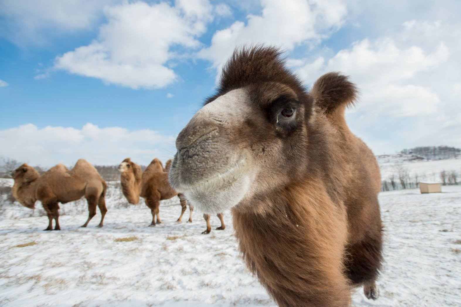 camels in cold snow covered field