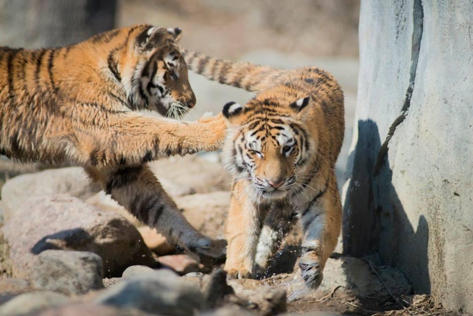 tigers at the columbus zoo