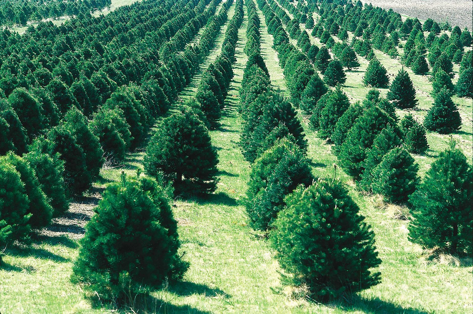 trees lined up at a christmas tree farm