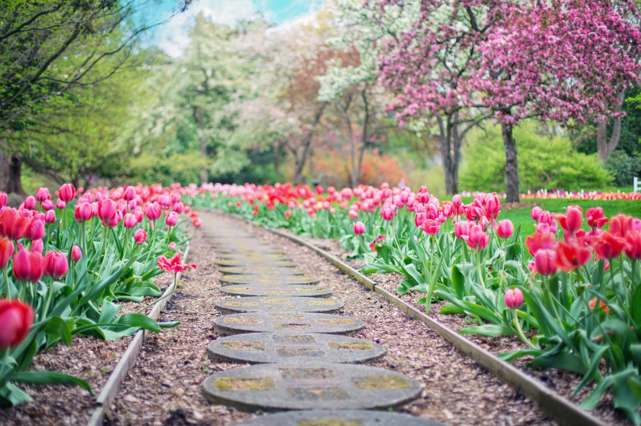 park path lined with tulips