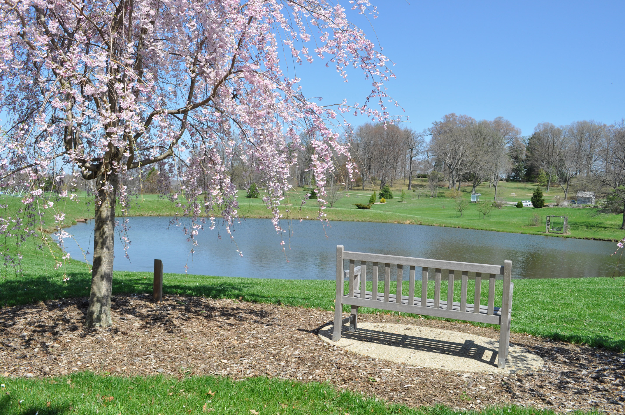 A bench resting by the side of a lake under a blossoming tree