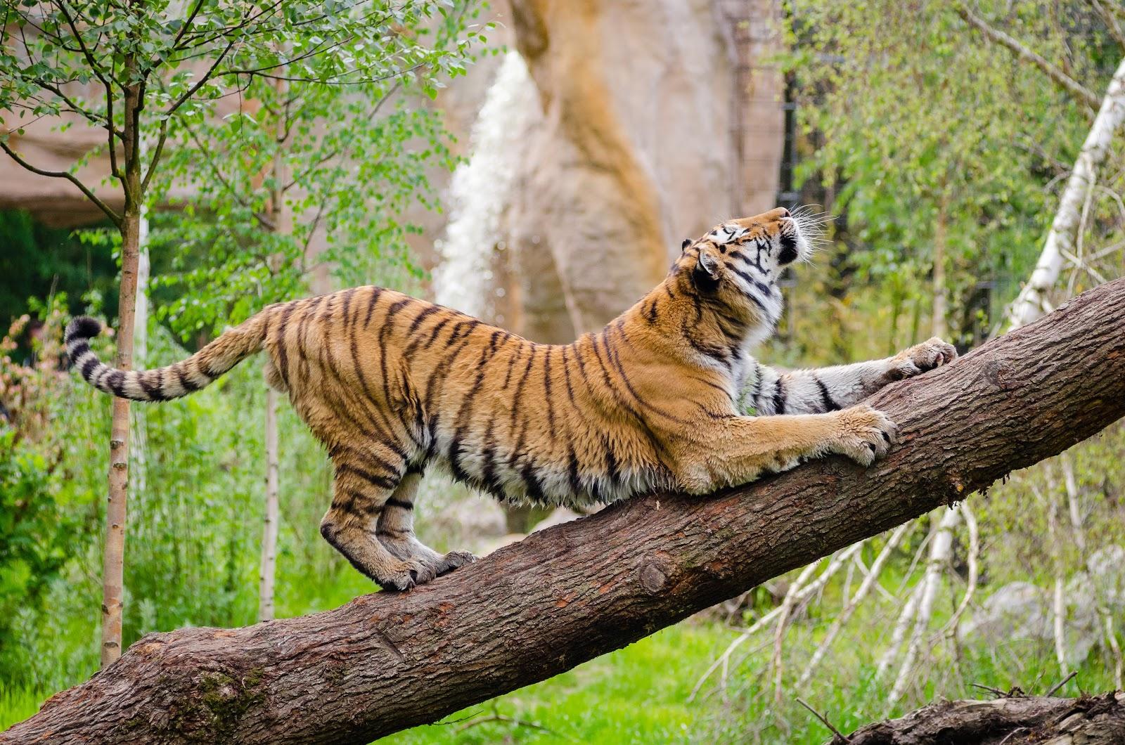 a tiger stretching across a fallen tree trunk