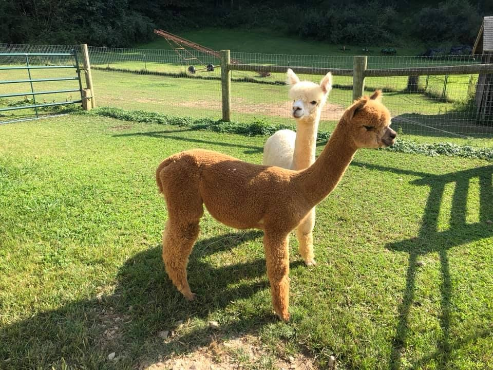 Two alpacas enjoying the great outdoors in Augusta, Ohio.