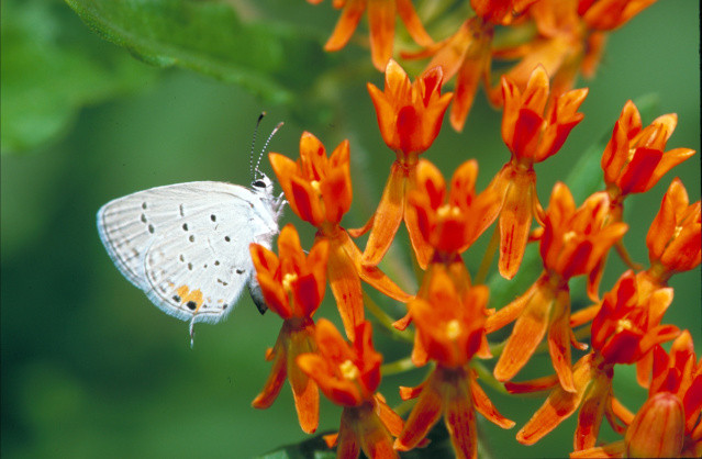 A white butterfly clings to the orange red blossoms of the butterfly weed.