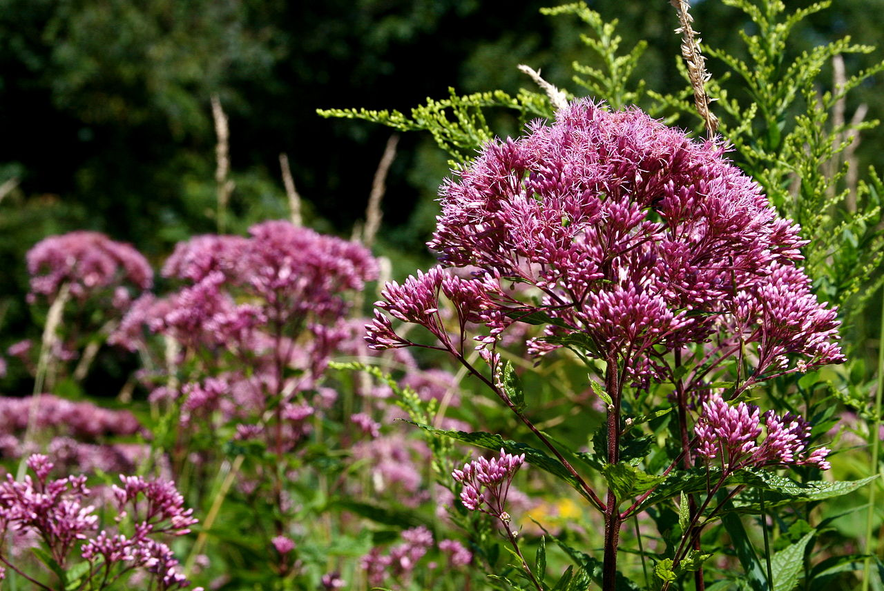 Joe Pye weed looks like a pink feather duster sticking up from the ground.