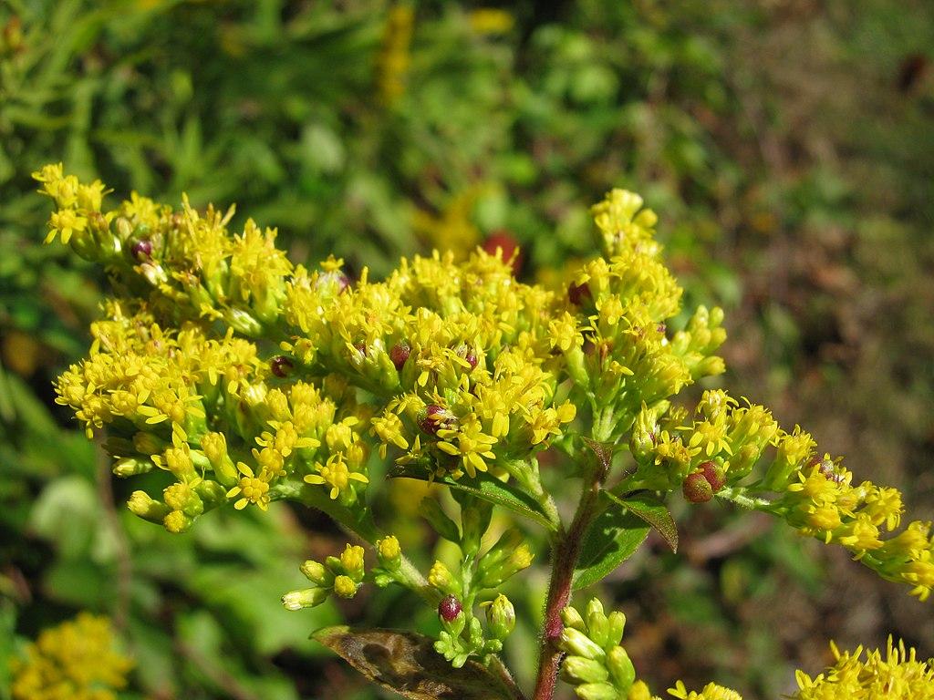 A ladybug covered goldenrod bush.