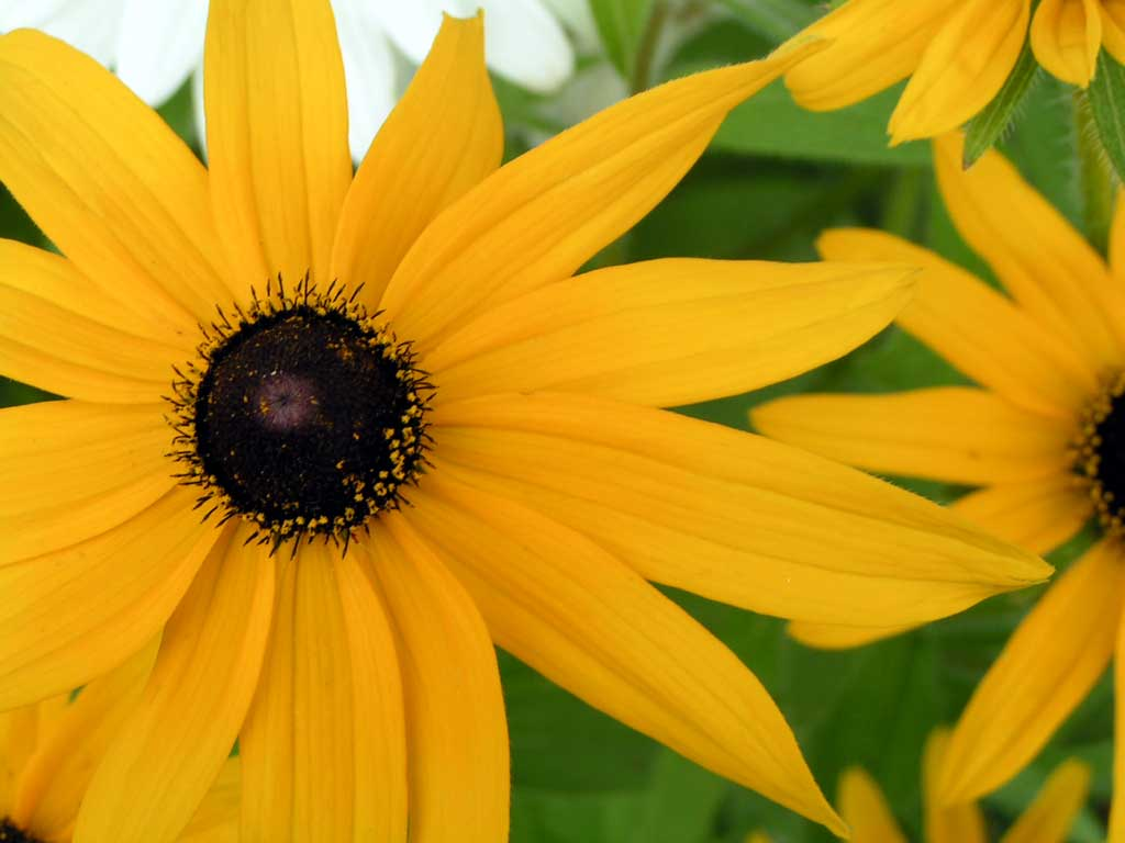 A large black-eyed Susan fills the photo, the titular black eye surrounded by a yellow ruff of petals.