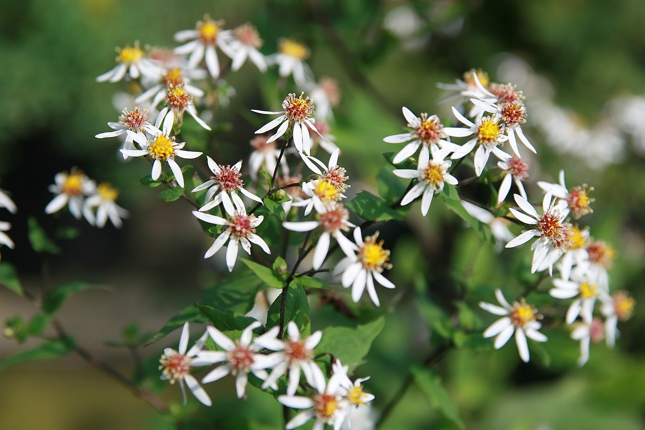 A cluster of Ohio native white wood aster with yellow or red centers.