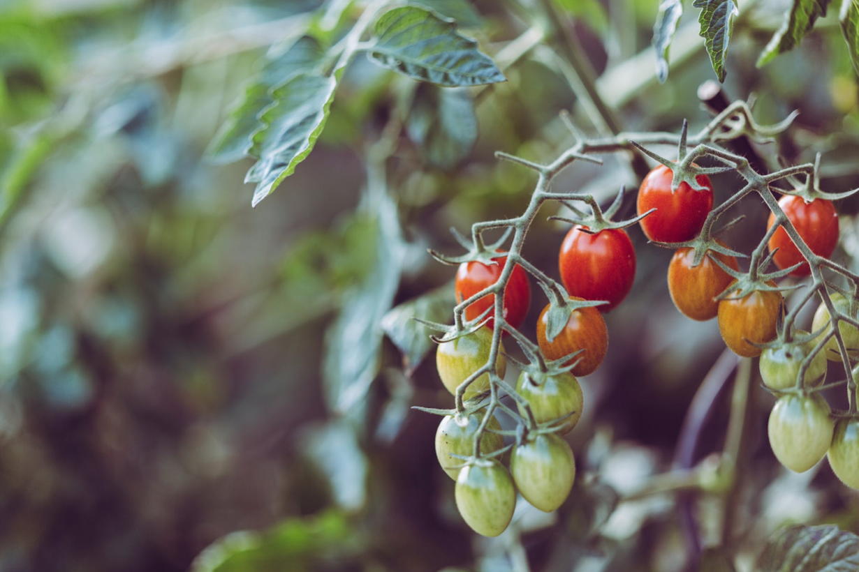ripening tomatoes in an ohio garden