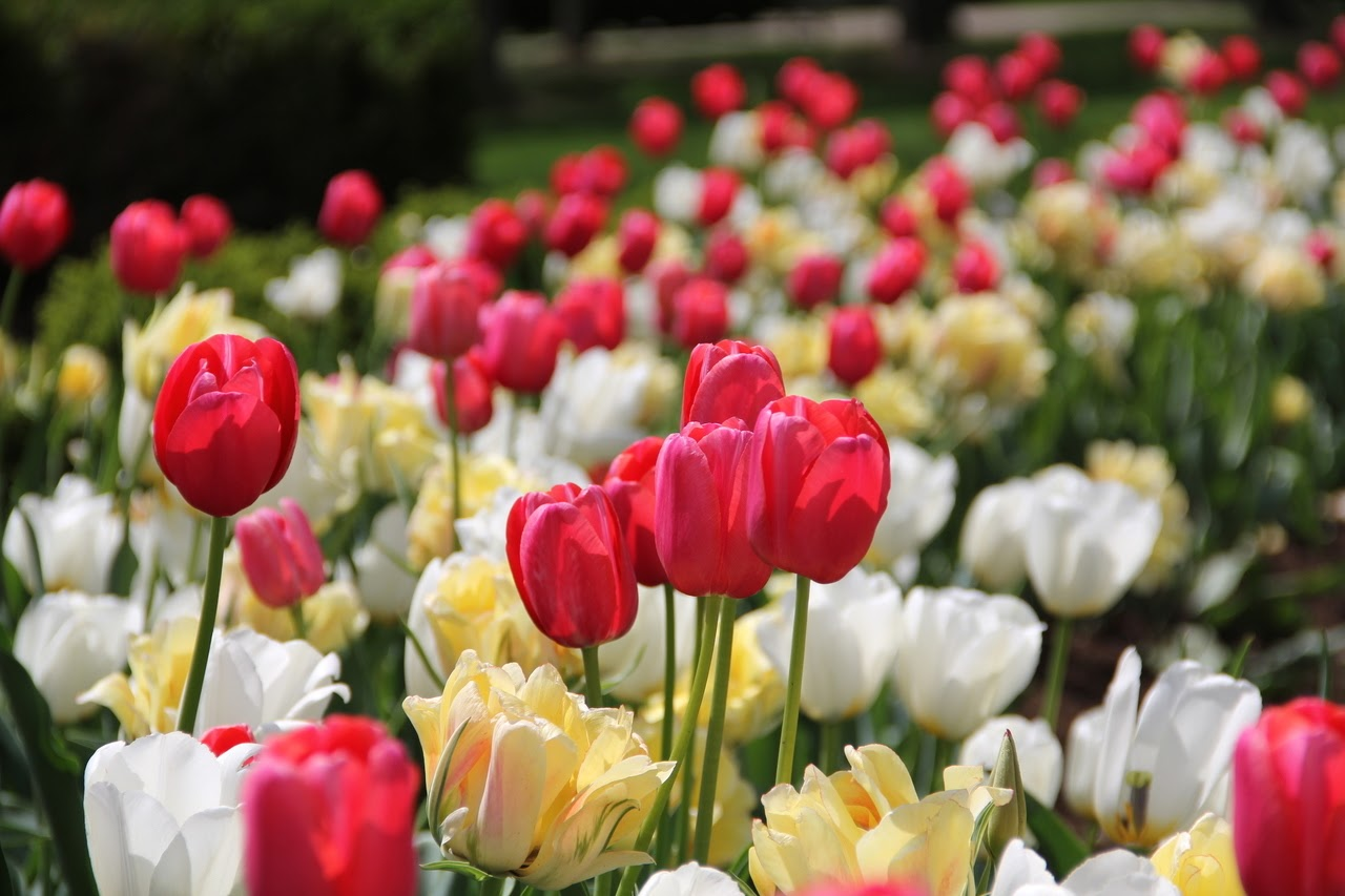 Red, yellow, and white tulips close up.