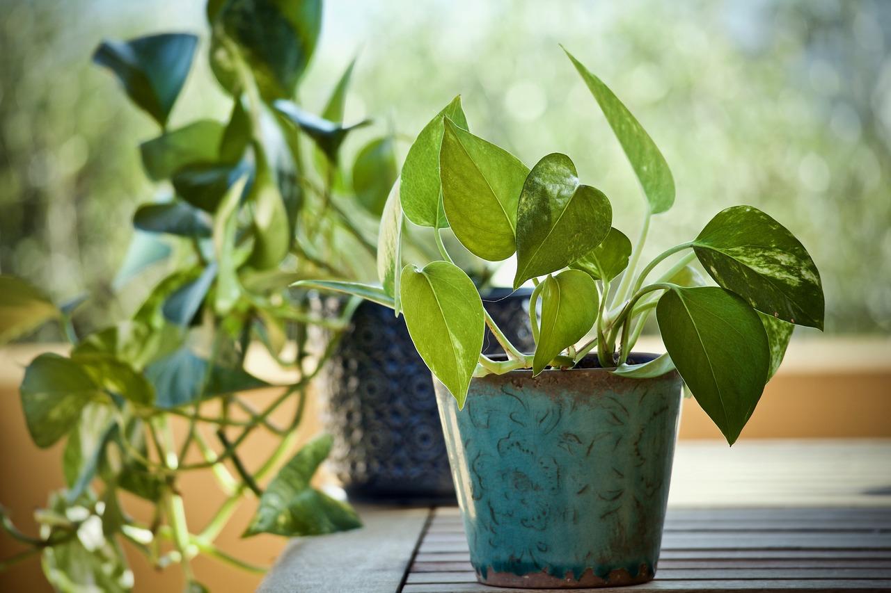 Pothos plant in turquoise planter