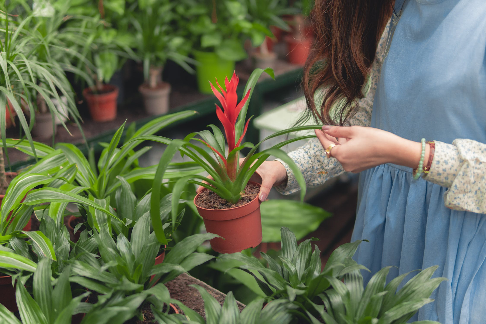 A woman selects a red bromeliad in a gardening shop.