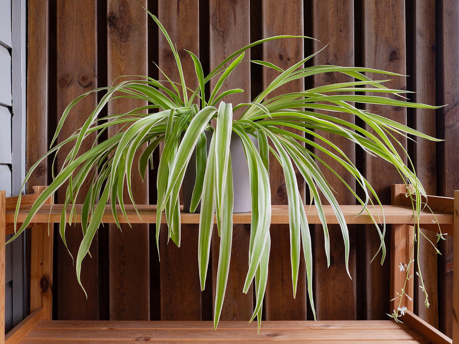 Sprawling spider plant