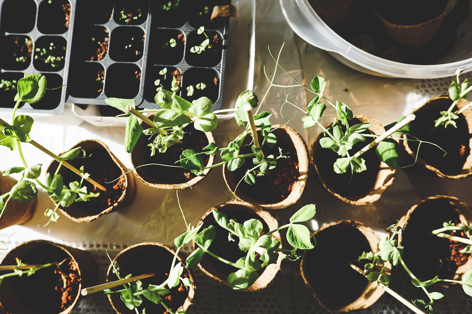 Many seedlings perfect for your home
