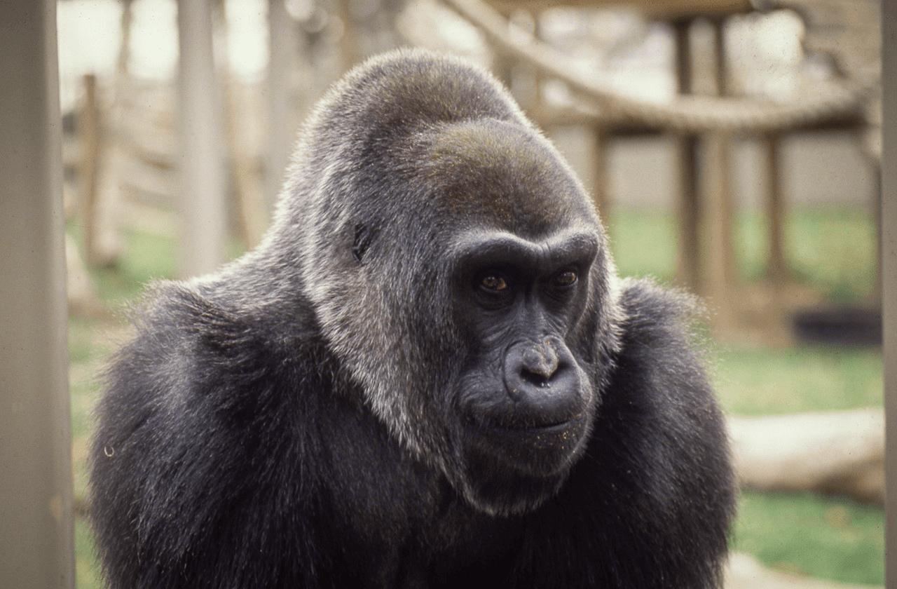 Colo the gorilla at the Columbus Zoo.