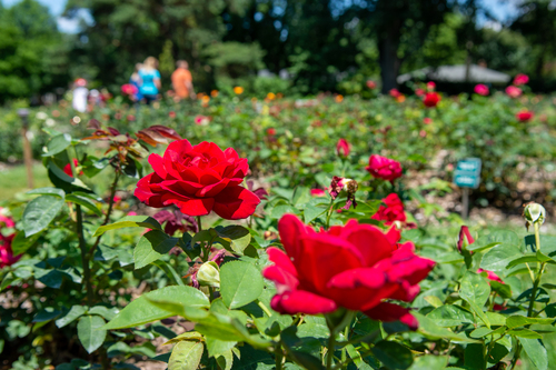 Red roses with tourists of the Columbus Park of Roses.