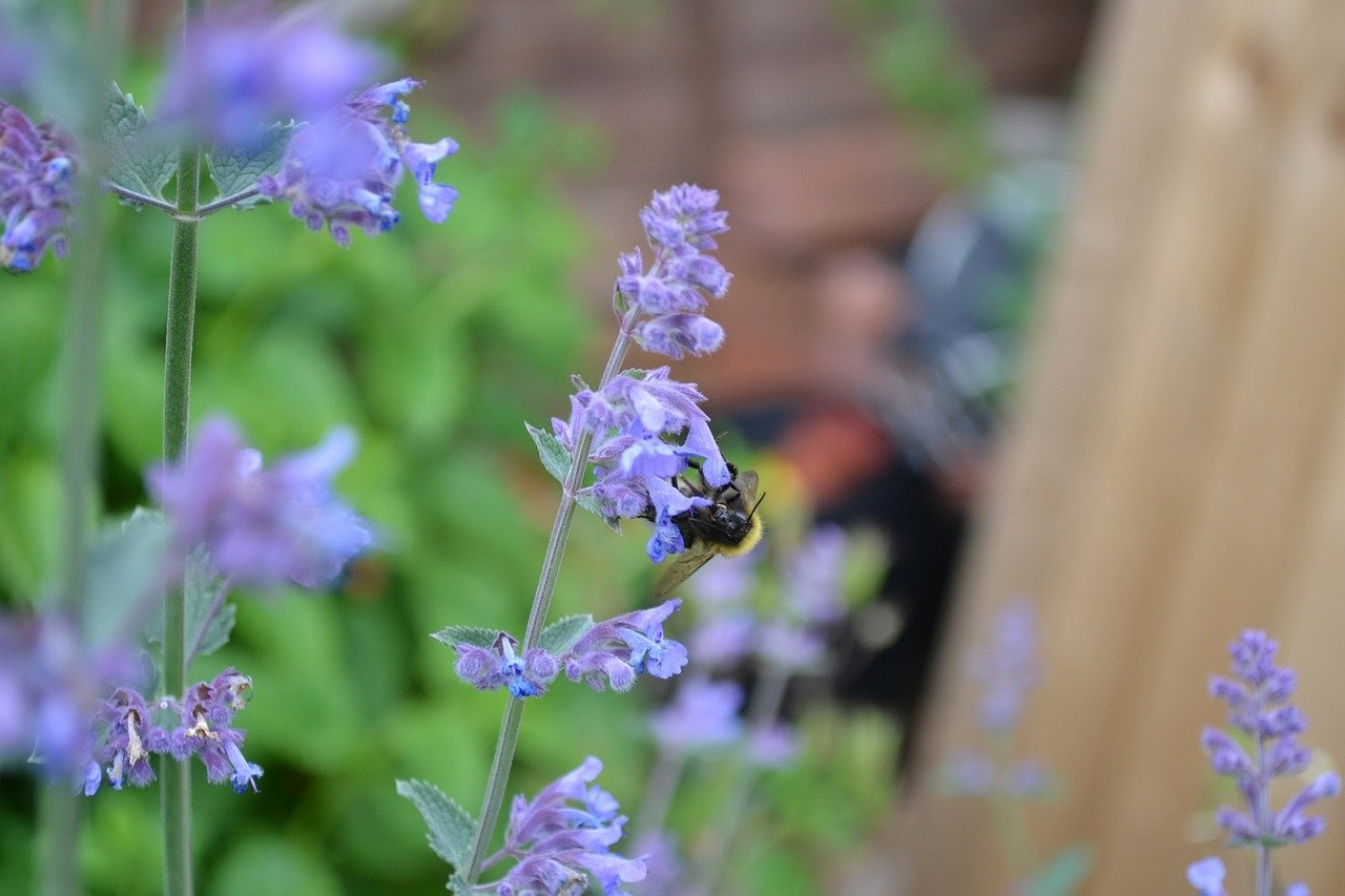 a bee perched on a catmint blossom