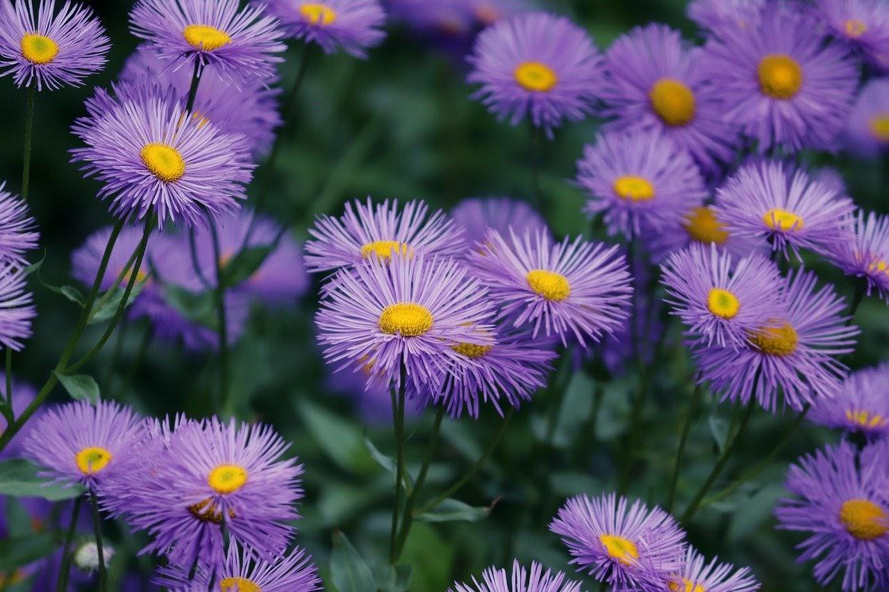 purple asters with threadlike petals