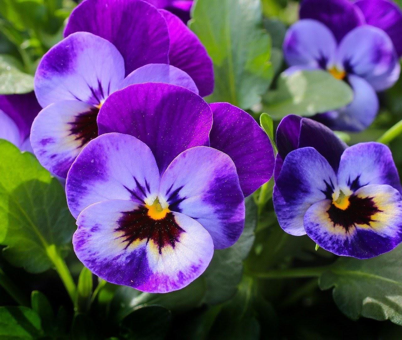 a bright purple pansy
