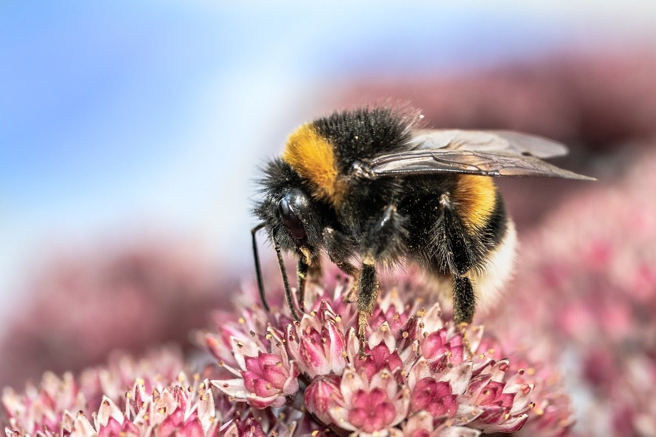 a bee sipping from a pink sedum