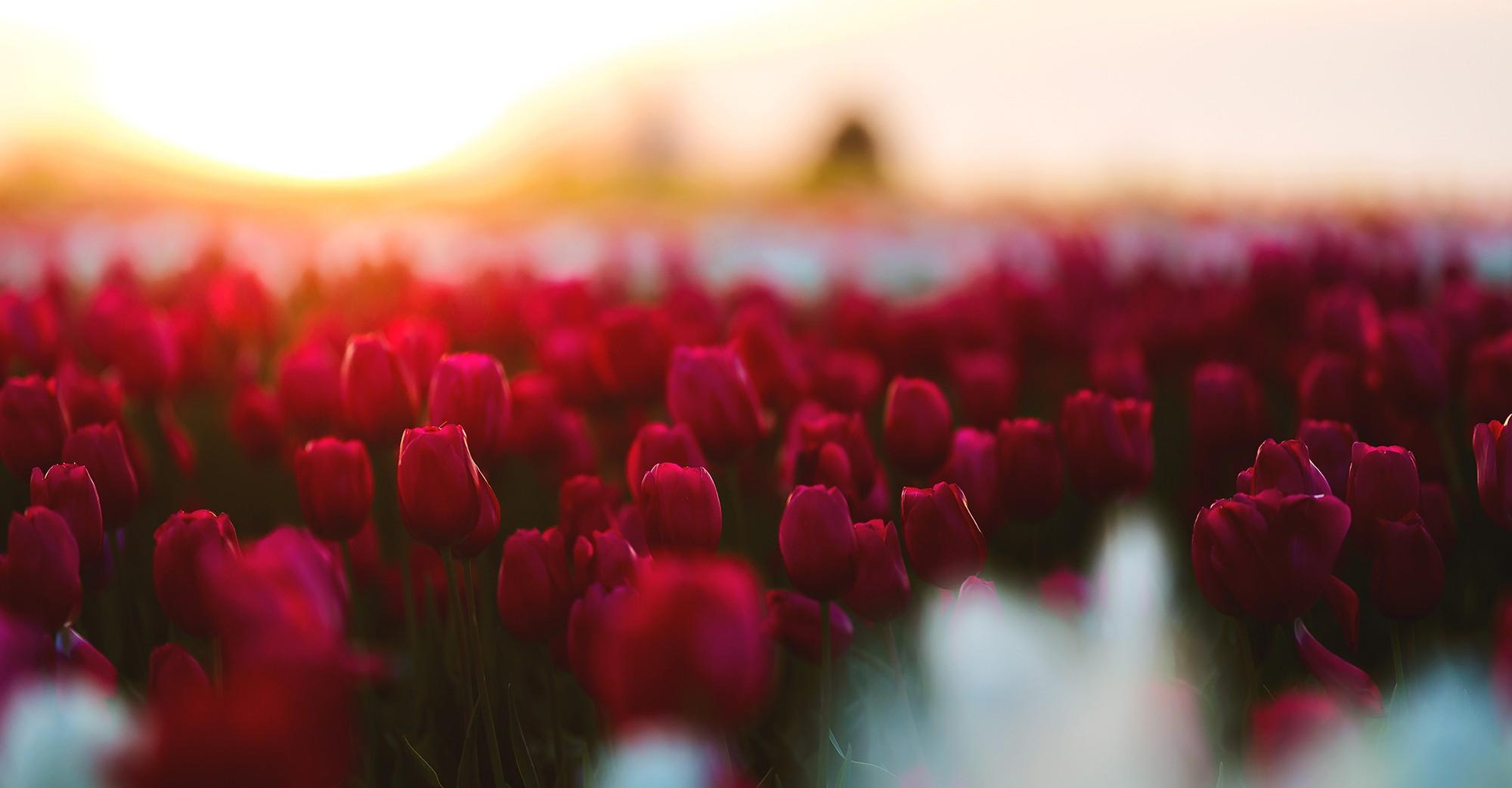 red flowers in a field