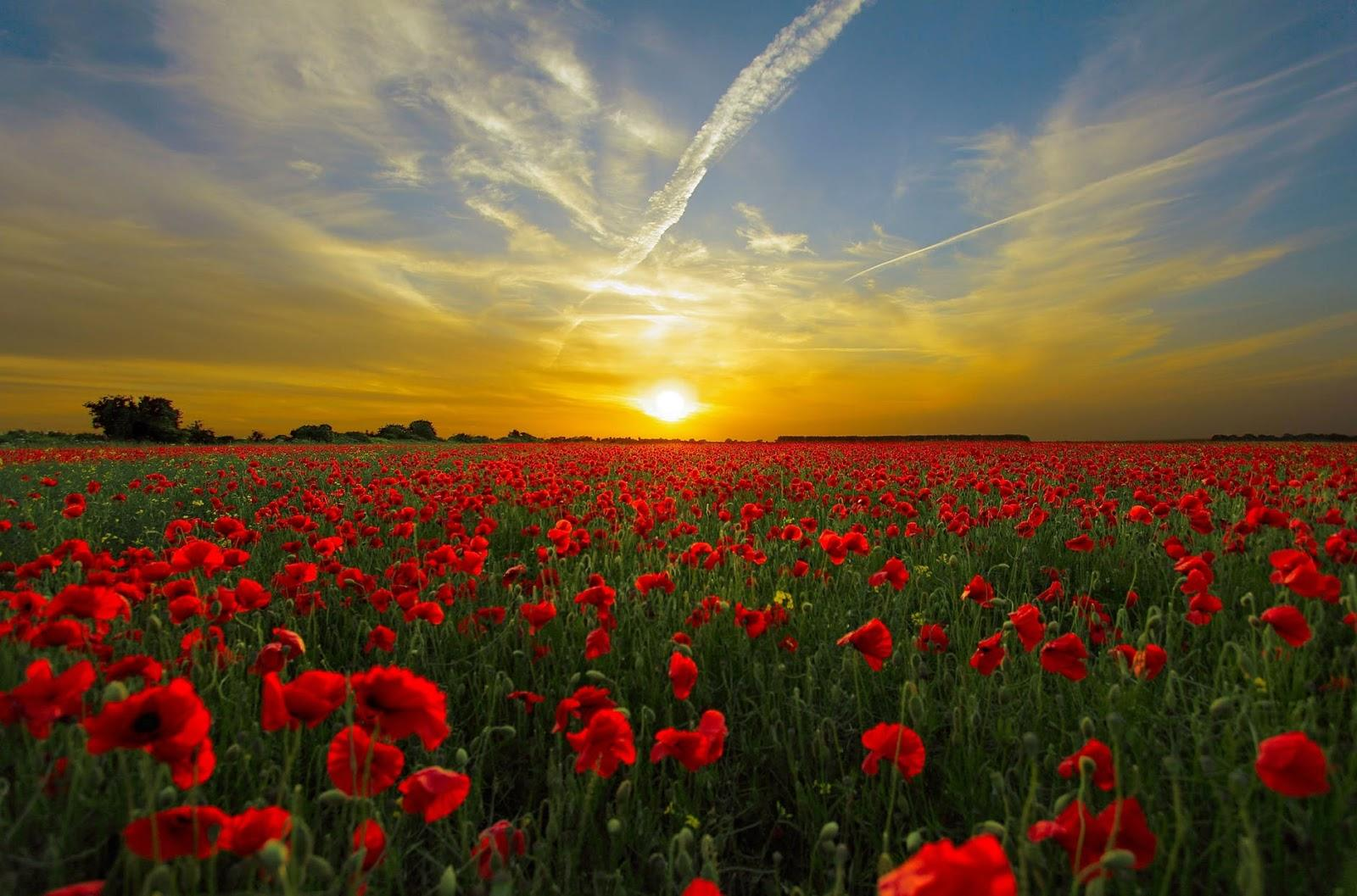 field of poppy flowers at dawn